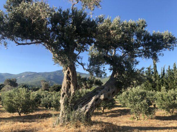 Olivenbaum Y-Form 6