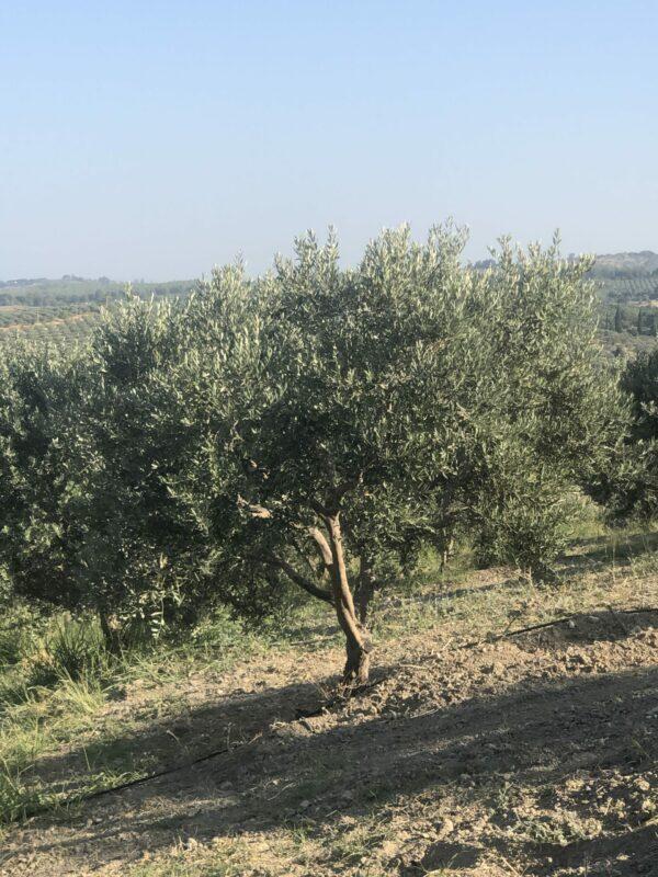 Olivenbaum im Hain 2