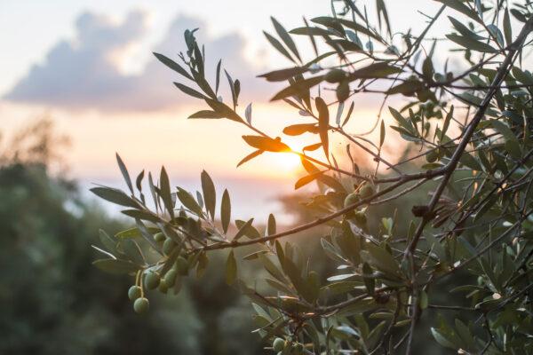 Olivenbaumzeig im Sonnenuntergang